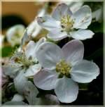verschiedenes/134277/apfelblueten-17042011-jeanny Apfelblüten. 17.04.2011 (Jeanny)