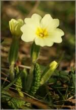 Verschiedenes/124501/die-primeln-sind-gelbe-farbtupfer-auf Die Primeln sind gelbe Farbtupfer auf noch braun-grünen Wiesen. (04.03.2011)