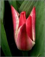 Verschiedenes/131208/an-bedeckten-tagen-sind-die-tulpen An bedeckten Tagen sind die Tulpen besonders fotogen. 30.03.2011 (Jeanny)
