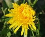 Verschiedenes/136518/langsam-oeffnet-sich-der-loewenzahn-dem Langsam öffnet sich der Löwenzahn dem neuen Tag. (16.04.2011)