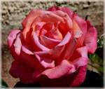 Verschiedenes/143892/trotz-der-trockenheit-beginnen-die-rosen Trotz der Trockenheit, beginnen die Rosen zu blühen. 01.06.2011 (Jeanny)