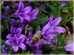 Verschiedenes/145729/auch-die-glockenblumen-moechten-bestaeubt-werden Auch die Glockenblumen möchten bestäubt werden. 17.06.2011 (Jeanny)