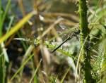 Verschiedenes/27977/fuer-einen-kurzen-augenblick-liess-sich Für einen kurzen Augenblick liess sich diese Libelle zwischen Stiel und Blatt nieder. (06.08.2009)