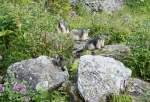 Verschiedenes/28745/begegnungen-der-besonderen-arteine-murmeltierfamilie-geniesst Begegnungen der besonderen Art:Eine Murmeltierfamilie geniesst den Sommer.  (August 2009)